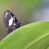 Doris Longwing butterflyPortrait