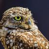 Burrowing Owl-3363