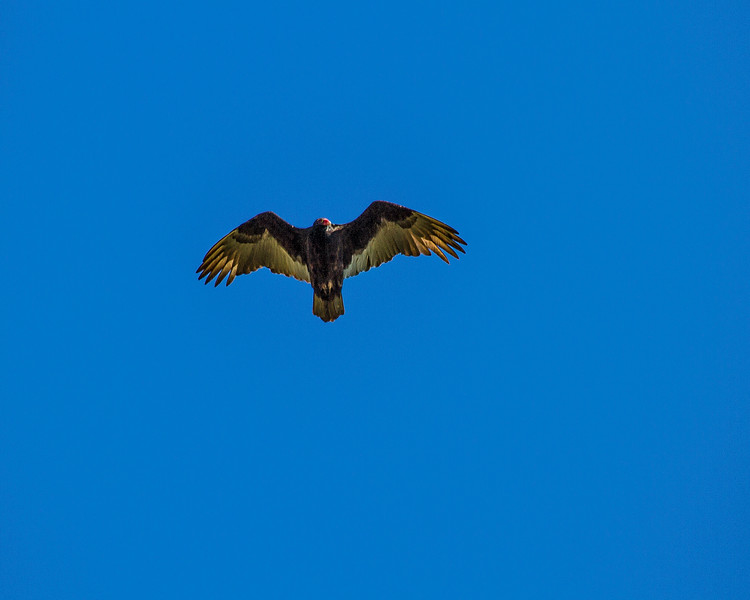Turkey Vulture -0370