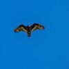 Turkey Vulture -0370