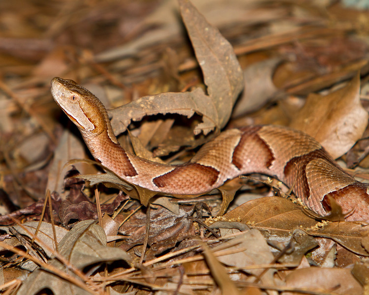 Copperhead-3987