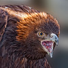 BirdsofPrey2011-9924 (Golden Eagle)