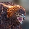 BirdsofPrey2011-9924 (Golden Eagle)