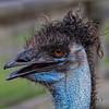 Bad Hair Day <br /> Fossil Rim Wildlife Park, Glen Rose, Texas