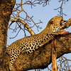 Ngala0717AM-9890 Gagging Leopard