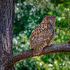 CenterBirdsOfPrey2014-0576 (Thunder in Tree)
