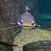 Red-tailed catfish - 7351