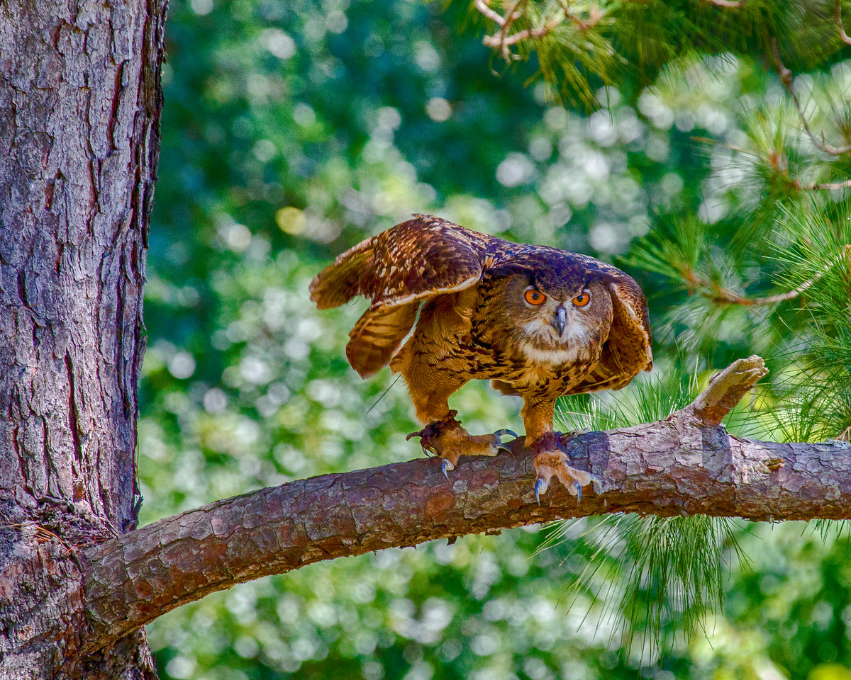 CenterBirdsOfPrey2014-0582 (Thunder Leaning on Branch)