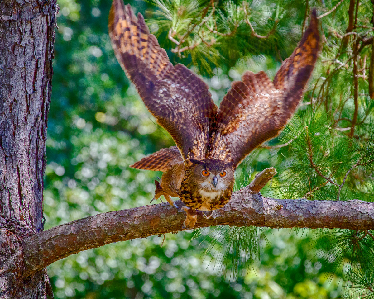 CenterBirdsOfPrey2014-0583 (Thunder Takes Flight)