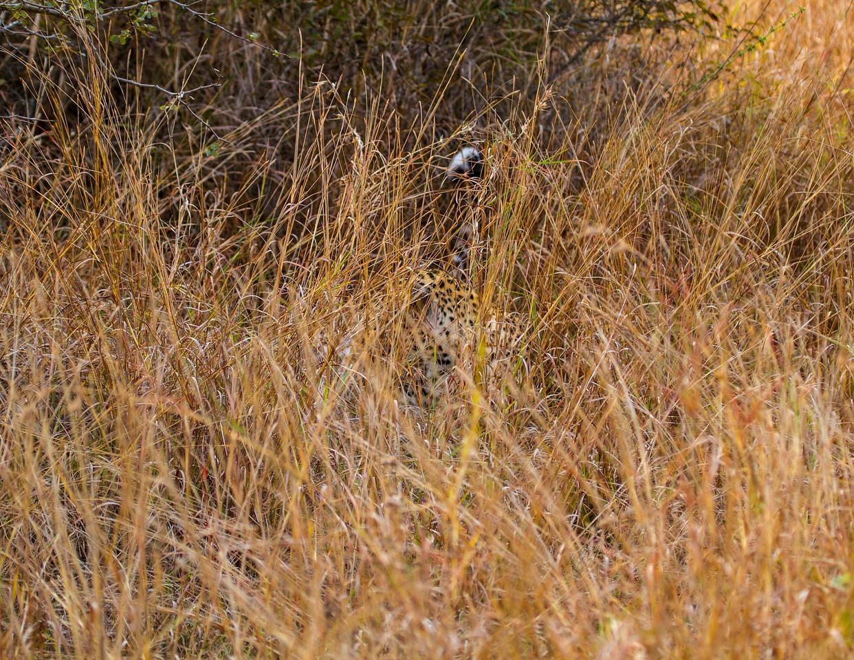 Ngala0717AM-9450 Hidden Leopard