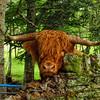 Highland_Bull