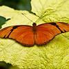 Julia Butterfly - 6074