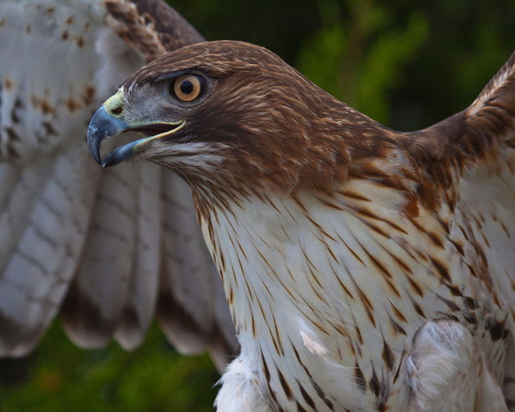 Red_Tailed_Hawk-1503