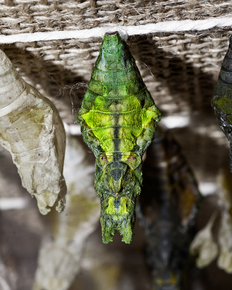 Alien Chrysalis <br /> (Actually the chrysalis of a Great Tailed Mormon butterfly)
