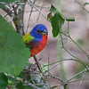 Painted Bunting<br /> Huntington Beach State Park, South Carolina