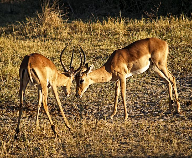 Impala Joust