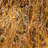 Ngala0717AM-9496 Leopard in Grass