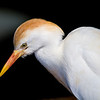 Cattle Egret-2393