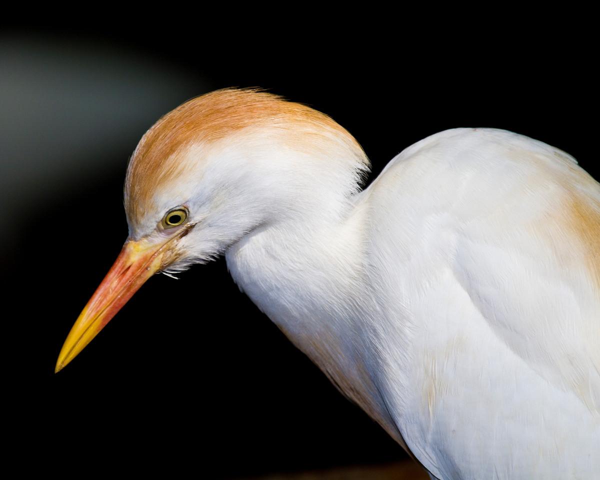 Cattle Egret-2393