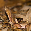 Copperhead-3996
