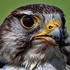 Saker Falcon<br /> Center for Birds of Prey, Awendaw, South Carolina