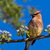 Cedar Waxwing <br /> Dallas, Texas