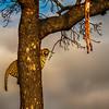 Ngala0717AM-9566 Perching Leopard