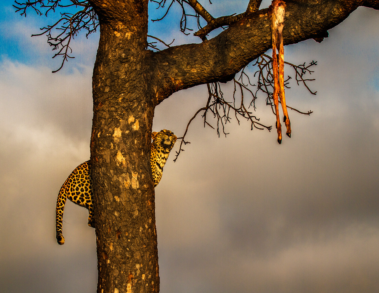 Ngala0717AM-9566 Perching Leopard