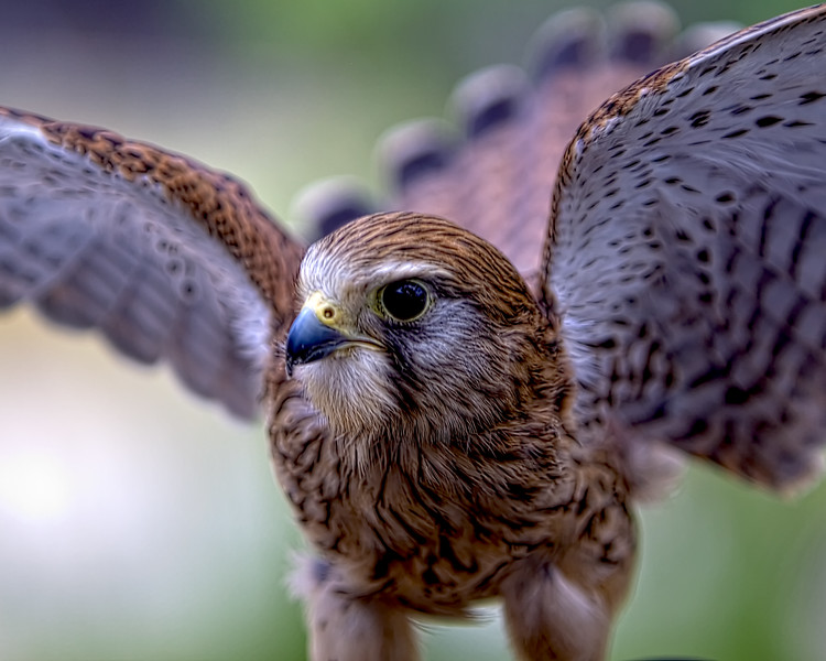 Eurasian Kestrel<br /> Center for Birds of Prey, Awendaw, South Carolina