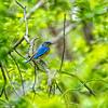 Hagerman_NWR-6374 (bluebird)