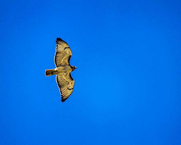 Red Tailed Hawk - 0527