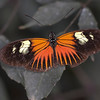 Doris Longwing butterfly