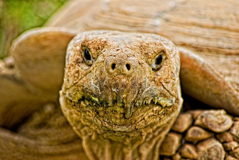Spurred Tortoise Portrait