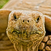 Spurred Tortoise Portrait