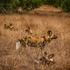 African Wild Dogs (Lycaon pictus)