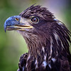 Immature Bald Eagle<br /> Center for Birds of Prey, Awendaw, South Carolina