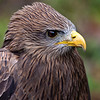 YellowBilled Kite-9900