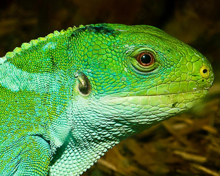 Fijian Banded Iguana-0953