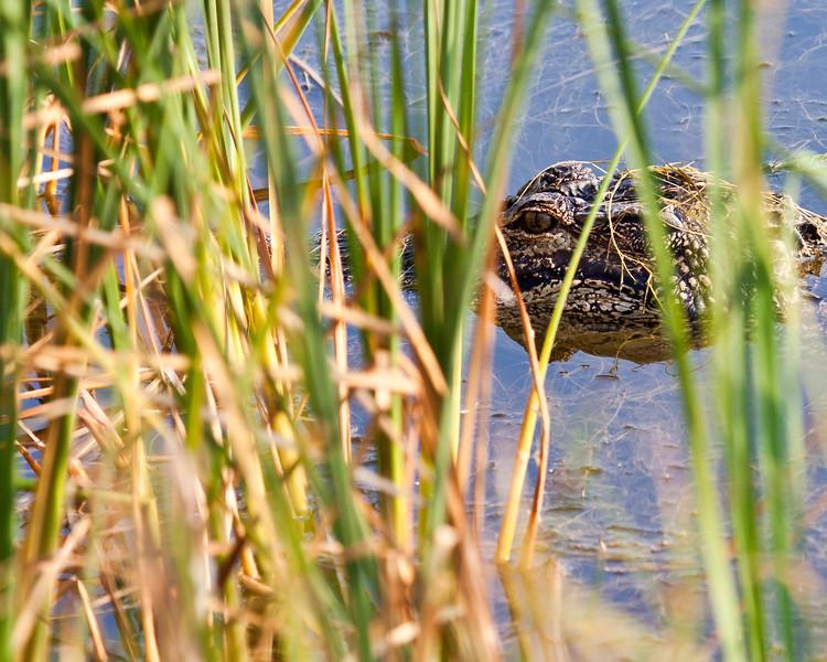 """Stealth"" -  Huntington Beach State Park, Murrells Inlet, South Carolina"