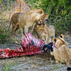 Lion Dinner Table