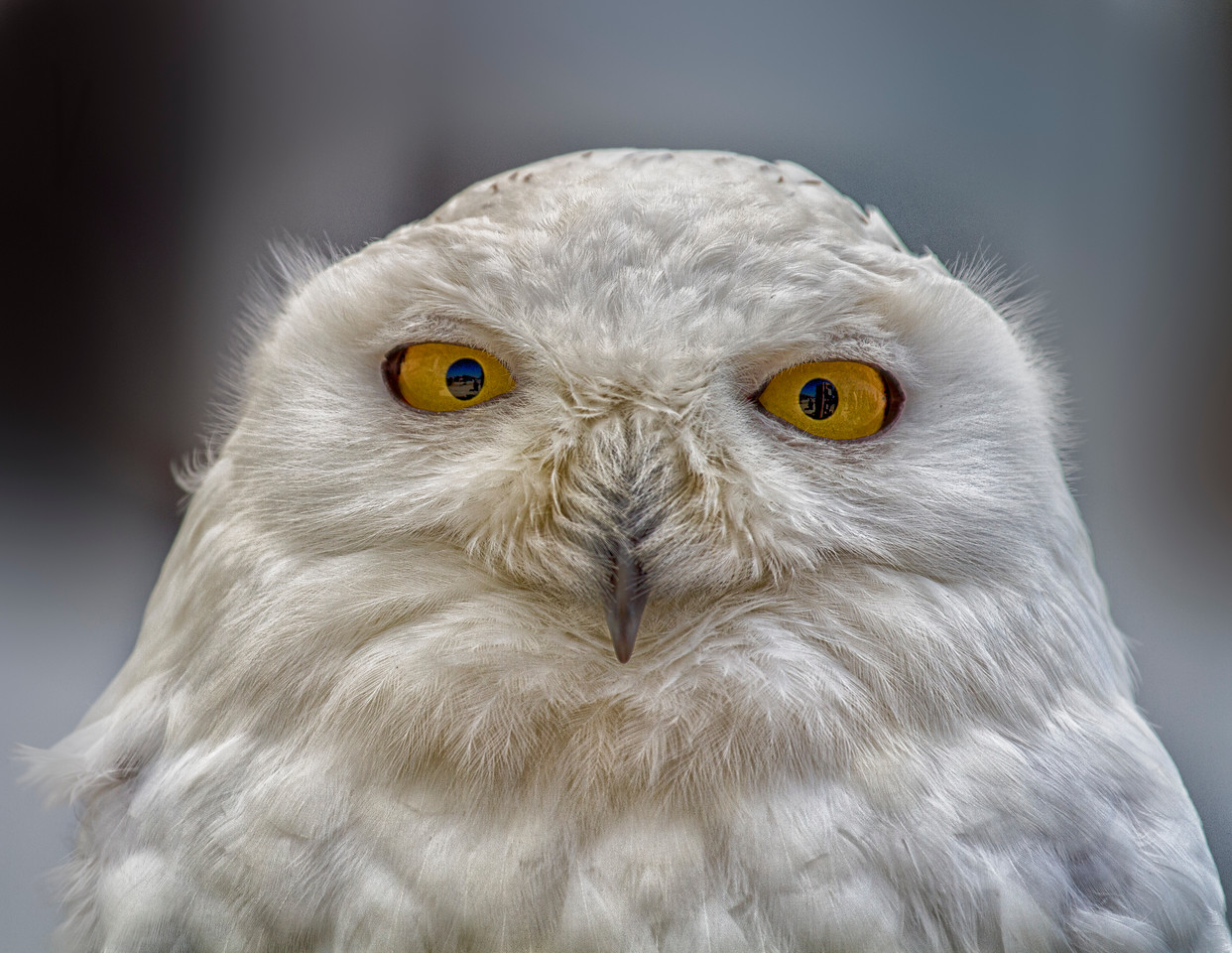 Snowy Owl - 3175