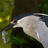 Black Crowned Night Heron-2247