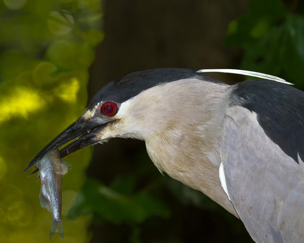 Black Crowned Night Heron-2247