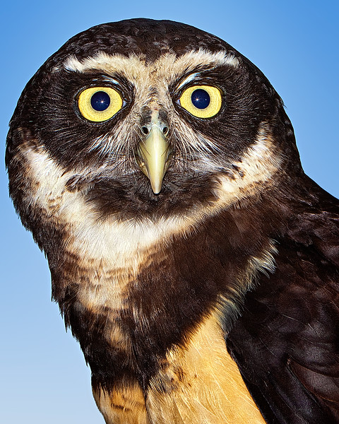 Spectacled Owl<br /> Center for Birds of Prey, Awendaw, South Carolina