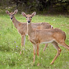 Whitetail Twins <br /> Fossil Rim Wildlife Center<br /> Glen Rose, Texas