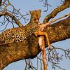 Ngala0717AM-9667 Sassy Leopard