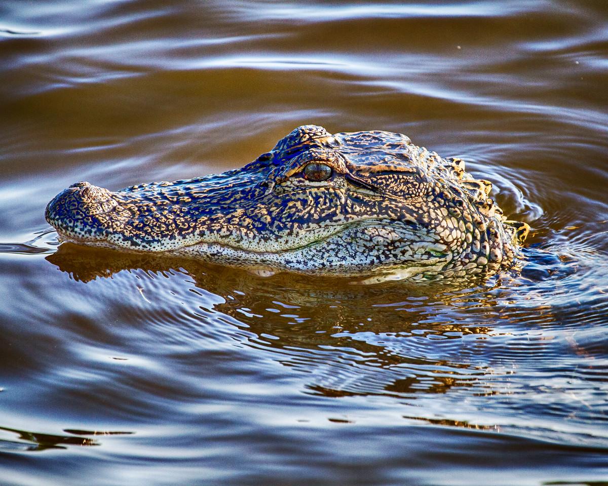 Pawlwys2014-8329 (Surface Alligator)