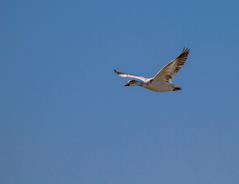 Solo Snow Goose-9085