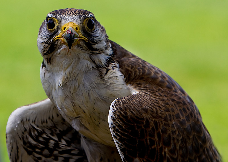 Saker Falcon Stare Down<br /> Center for Birds of Prey, Awendaw, South Carolina