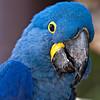 FWZ Hyacynth Macaw